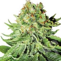 Northern Lights Automatic White Label autoflowering