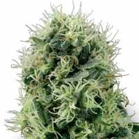 Pure Power Plant seeds White Label feminized