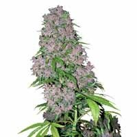 Purple Bud seeds White Label feminized