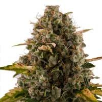 Royal Moby feminized Royal Queen Seeds