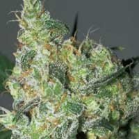 White Russian feminized Serious Seeds