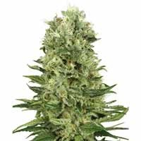 Skunk Automatic seeds White Label autoflowering