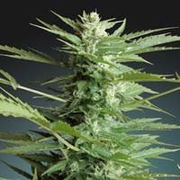 Auto Sweet Dwarf autoflowering Advanced Seeds