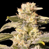 TNT Kush feminized Eva Seeds