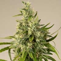 Trainwreck Humboldt Seeds feminized