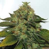 UltraSour feminized seeds TH Seeds