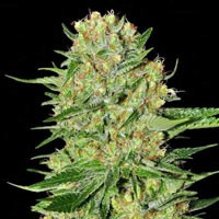 Veneno feminized Eva Seeds