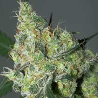 White Russian seeds Serious Seeds