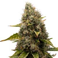 White Widow feminized Royal Queen Seeds