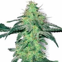 White Skunk regular seeds White Label