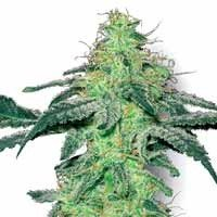 White Skunk seeds White Label feminized