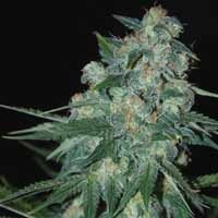Ketama feminized seeds World of Seeds