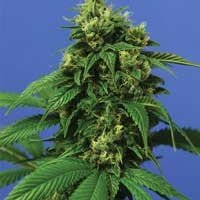 Wreckage feminized seeds TH Seeds