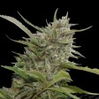 Auto Whiteberry Paradise Seeds