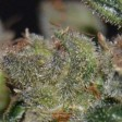 Domina CBD Seeds