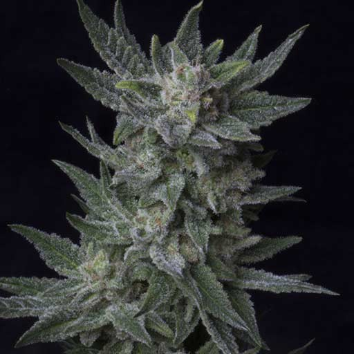 Graines Auto Bubblegum TH Seeds autofloraison