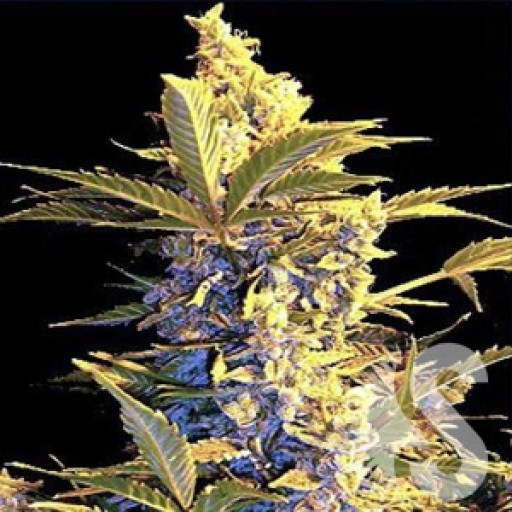 Easy Ryder autofleurissantes Highbred Seeds