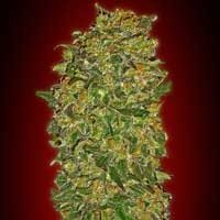 Graines Chocolate Kush 00 Seeds feminisées