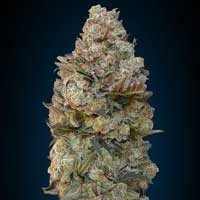 Graines Chocolate Skunk 00 Seeds feminisées
