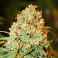 Graines Critical Super Silver Haze Delicious Seeds