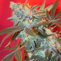 Graines White Widow Female Seeds feminisees