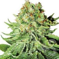 Graines Northern Lights Automatic White Label autofloraison
