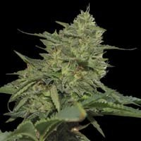 Graines Original Cheese (IBL) Paradise Seeds feminisees
