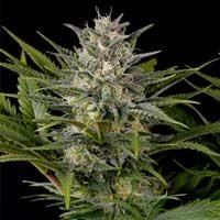 Graines Pineapple Skunk Humboldt Seeds feminisées