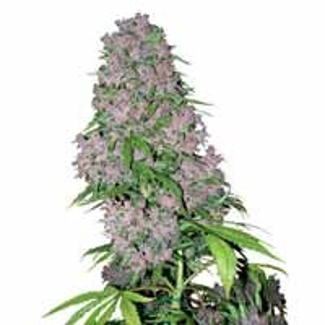 Graines Purple Bud White Label feminisees