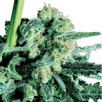 Graines Sensi Skunk regulieres Sensi Seeds