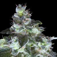 Graines Original White Widow (IBL) Paradise Seeds feminisees