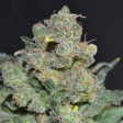 Chesse CBD Seeds