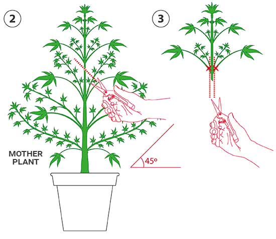 how to clone marijuana plants using cuttings santyerbasi blog. Black Bedroom Furniture Sets. Home Design Ideas