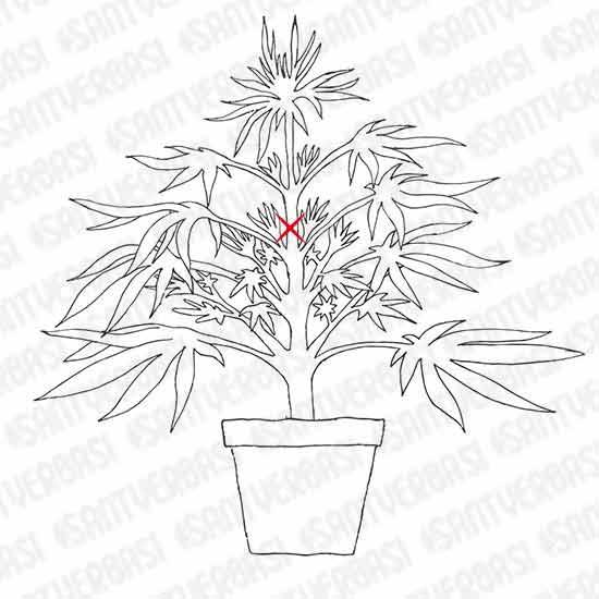 how to get a marijuana plant