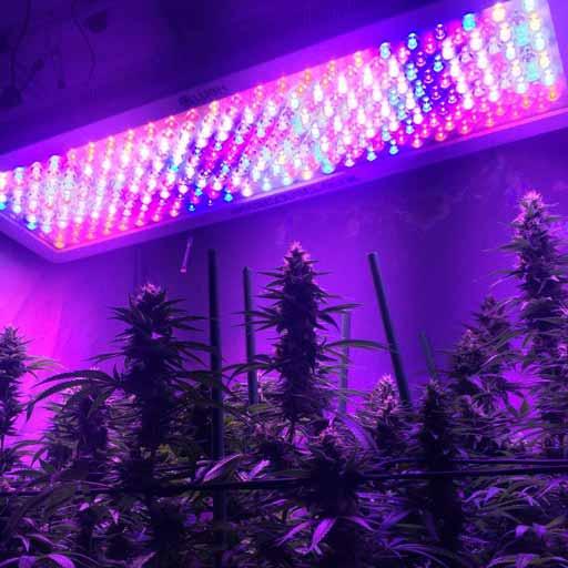 Lush Lighting Leds For Marijuana Growing Santyerbasi Blog