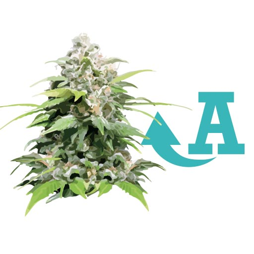 Improve yields of autoflowering plants - Santyerbasi Blog