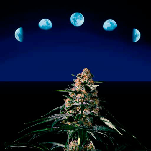 Moon and cannabis