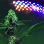 cannabis LED