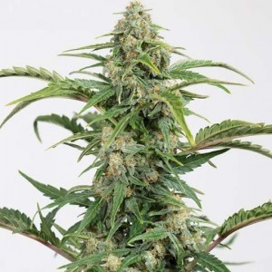 dinamed cbd auto cannabis seeds