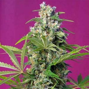 gorilla girl cannabis seeds