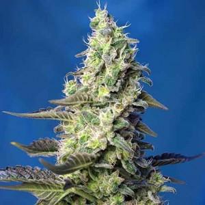green poison xl cannabis seeds