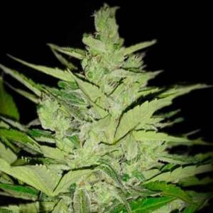 limonet haze cannabis seeds