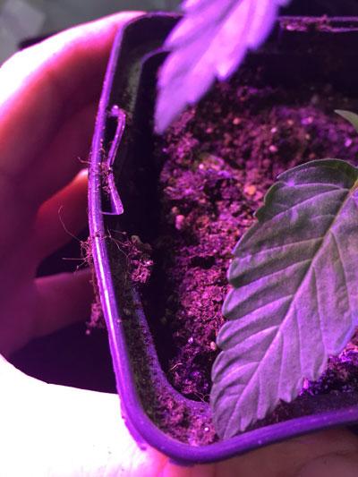 Benefits cannabis transplant