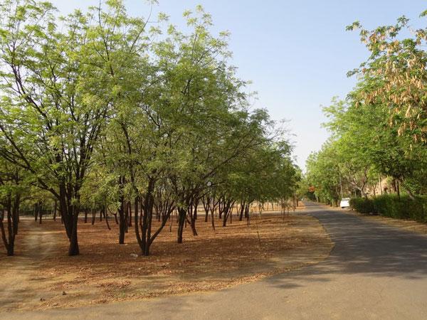 Growing Neem Tree
