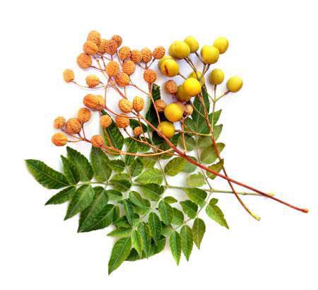 oil neem tree