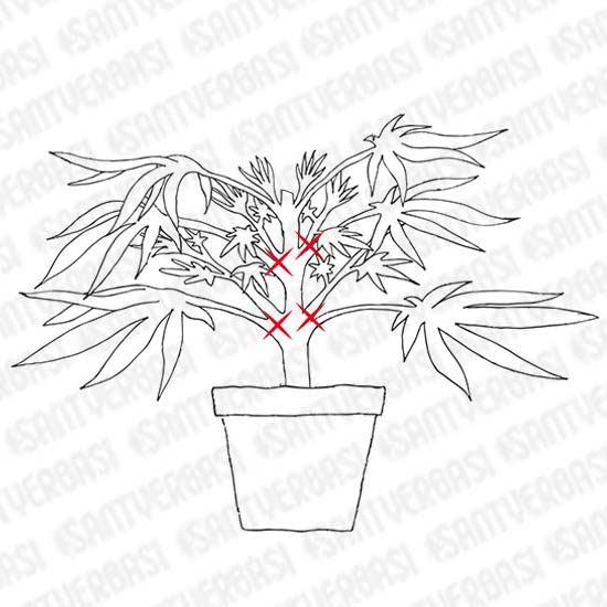 garder les feuilles with cultiver en scrog