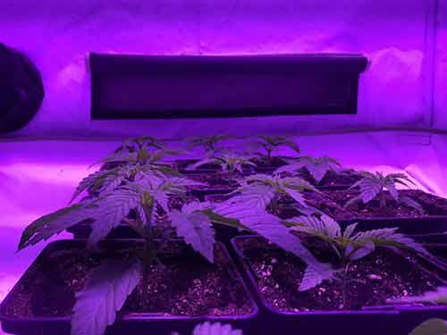 culture de cannabis sous led dominator 2xxl blog santyerbasi. Black Bedroom Furniture Sets. Home Design Ideas