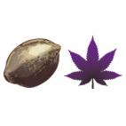 Semillas de marihuana moradas