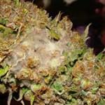 Identificar y prevenir el moho gris (botrytis)