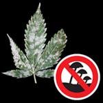Prevenir y elimninar oidio en la marihuana